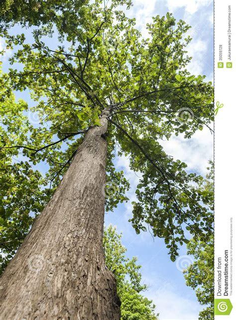 tree pic teak tree royalty free stock photos image 35059728