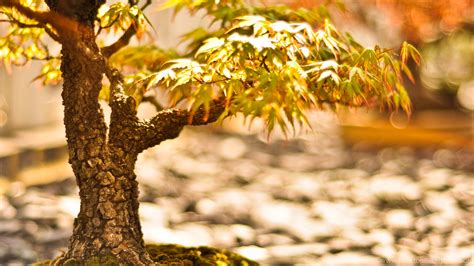 bonsai tree hd wallpapers  wallpapers desktop background