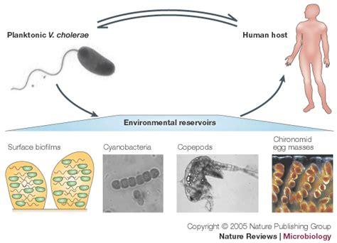 biofilm adalah cholera1 cholera life cycle