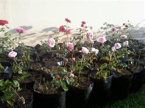 cara menanam dan merawat bunga mawar stek dalam pot