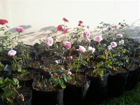 Pupuk Untuk Bunga Mawar cara menanam dan merawat bunga mawar stek dalam pot