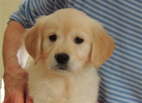 golden retriever puppies available now ontario golden retriever puppies available american