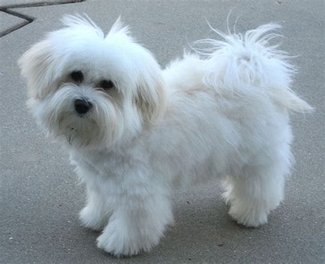 havanese haircuts pictures    commons