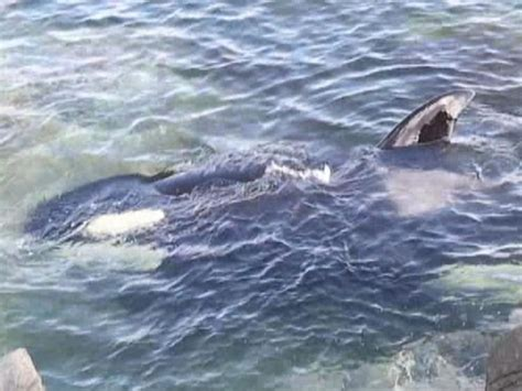 killer whale rescue see the rescue of an orca stranded along