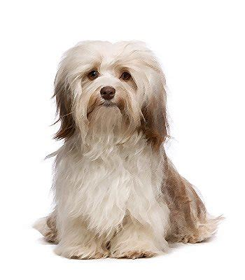 do havanese shed a lot havanese breed information