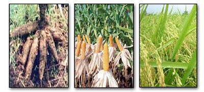 Pupuk Dolomit Untuk Jagung sumber organik februari 2012 pupuk organik oreza padi