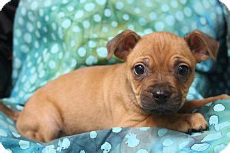 pugs for adoption in nj bedminster nj pug chihuahua mix meet kolo a puppy for adoption