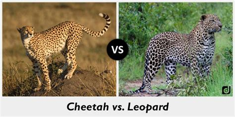 whats the difference between a leopard and a jaguar difference between cheetah and leopard