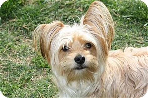 yorkie edmonton monty adopted edmonton ab silky terrier yorkie terrier mix
