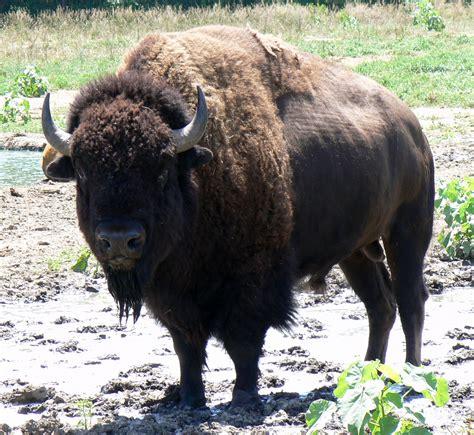 Buffalo L by File Bison Bull In Nebraska Jpg