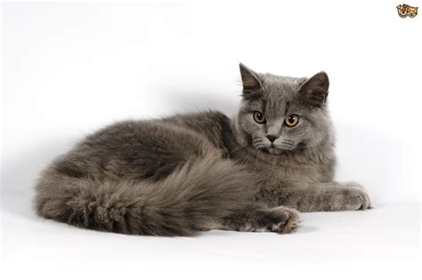 breeds with blue seven cat breeds with blue coats pets4homes