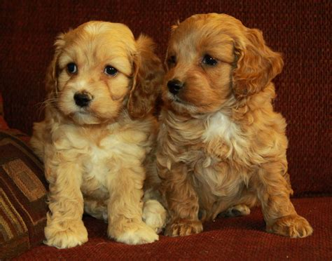 cockapoo dogs sibling cockapoo puppies puppies for sale dogs for sale in ontario canada