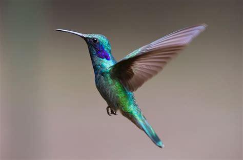 free images bird wing fly beak hummingbird colorful