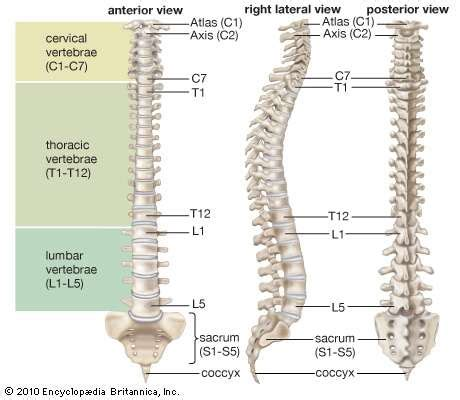 the spinal column is divided into how many sections vertebral column anatomy britannica com