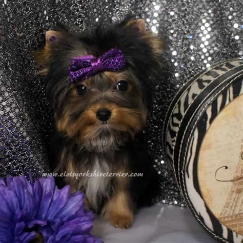 micro yorkies for adoption teacup terrier puppy for adoption breeds picture