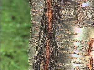 fruit tree fungus identification home gardener tree problems flowering cherry