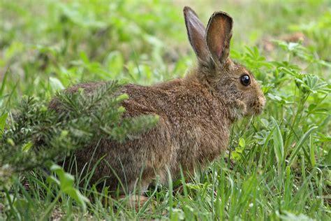 Rabbit L snowshoe hare