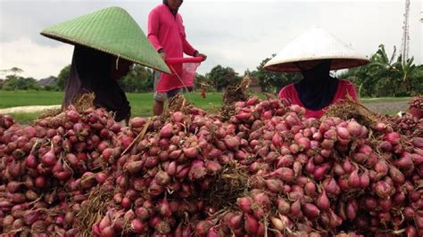Bawang Merah Kulit Brebes nasib masih terpuruk puluhan petani bawang merah brebes dan nganjuk ngadu ke ketua mpr