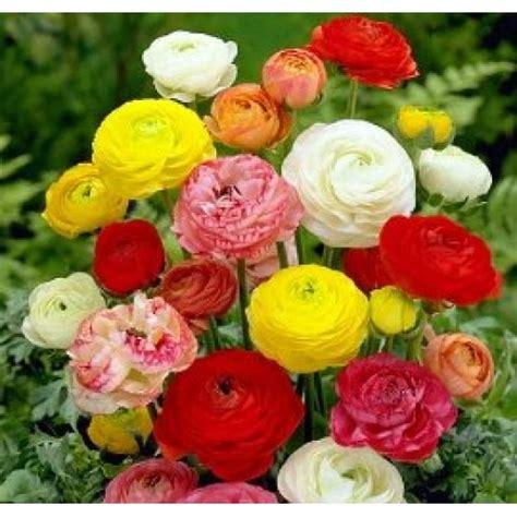 Bibit Bunga bibit bunga buttercup