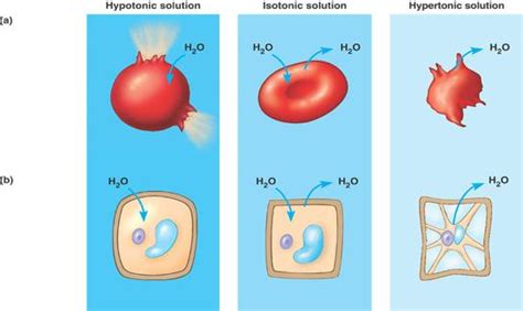 hypertonic diagram water balance jpg