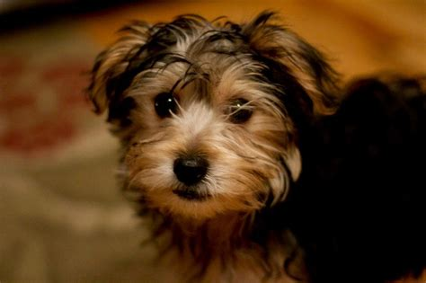 bichon yorkie mix for sale 1000 images about yorkie bichon on puppys yorkie and pets