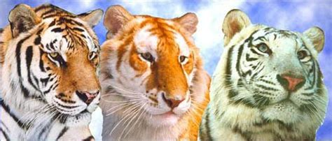 what are the different types of tigers living types of tigers www pixshark com images galleries with a bite