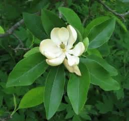 file sweetbay magnolia magnolia virginiana flower closeup