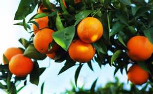 Sweet and sour facts about oranges daily inspirations for healthy