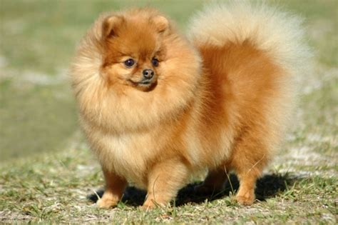 flat pomeranian breeds of small dogs with curly tails pictures pets world