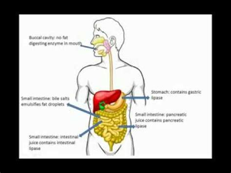 carbohydrates fats and proteins digestion of carbohydrates fats and proteins