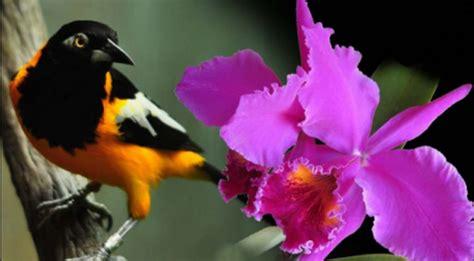 turpial ave nacional venezuela apexwallpapers com la orqu 237 dea y el turpial emblemas de identidad nacional