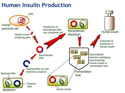 insulin diagram annotated bibliography gene cloning