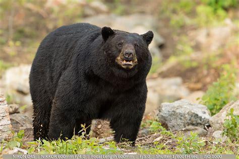 big black bear wildlife photography tips part two