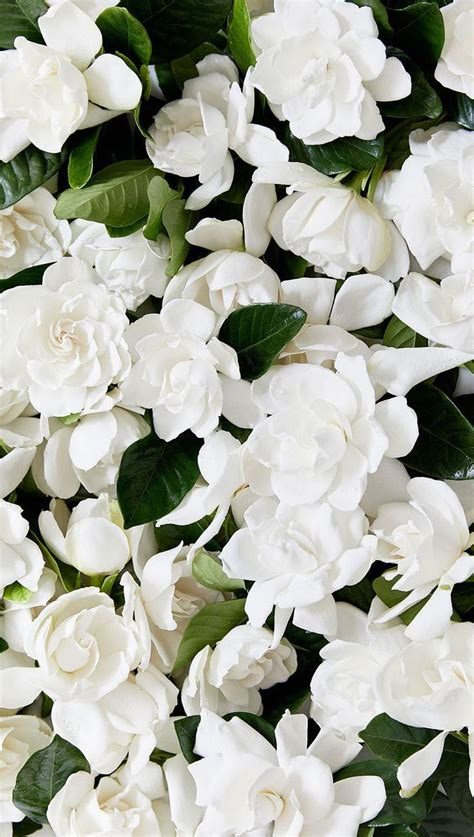 high c gardenias 194 best high c supply images on pinterest gardenias