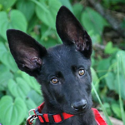 dogs eclipse eclipse the black gsd puppy s web page