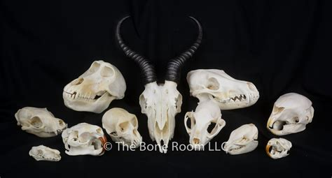 Home Decor International by Real Animal Skulls For Sale The Bone Room
