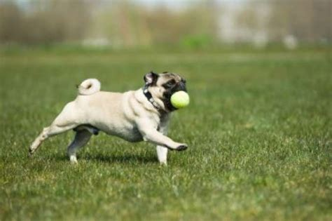 how do pugs live on average what of should we get breeds for familyeducation