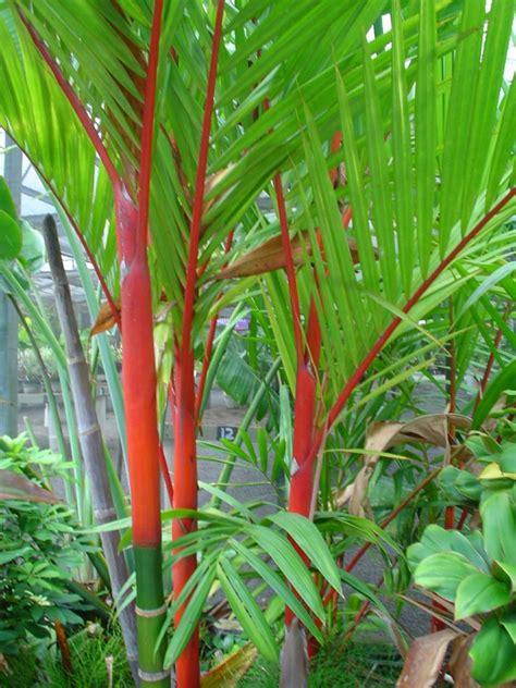 tropical palms lipstick palm