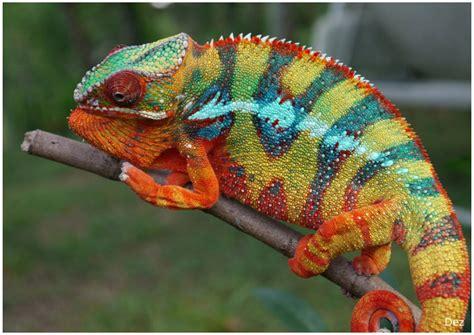 beautiful panther chameleon animal hd wallpaper hd
