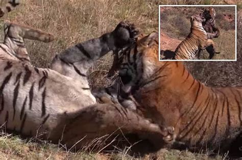 incredible  close clip captures  tigers fighting   lives daily star