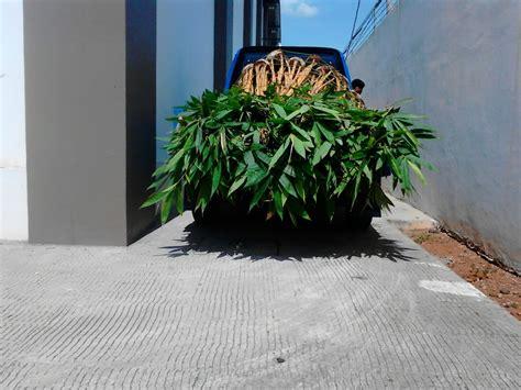 pohon bambu kuning bambu panda bambu jepang tukang