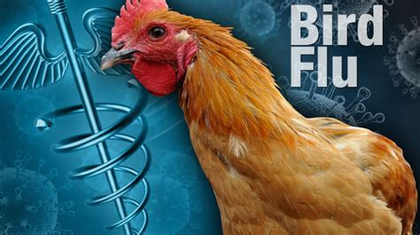 india declares itself free from bird flu h5n1 disease