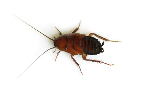 Kakerlaken Bilder by Flesh Robotic Cockroach Survival