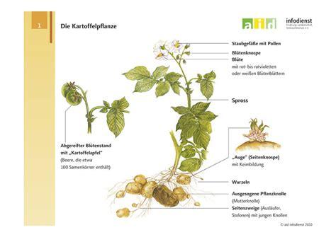 Beschriftung Kartoffelpflanze by Kartoffelanbau F 252 R Gro 223 Stadtg 228 Rtner Bzfe