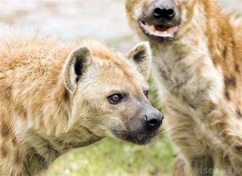 is a hyena a what is a hyena with pictures