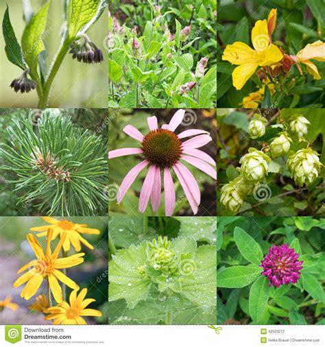 imagenes de flores medicinales plantas medicinales foto de archivo imagen 42503272