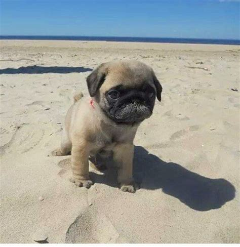 pug at the best 25 baby pugs ideas on pugs pug puppies and pug puppies for sale