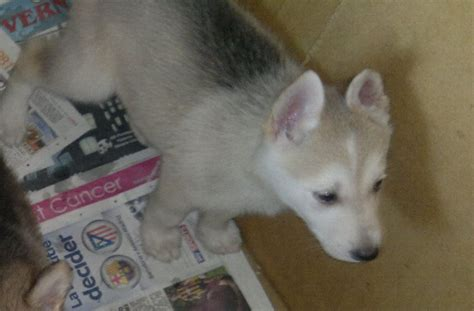 husky dogs for sale siberian husky puppies for sale edited hereford herefordshire pets4homes