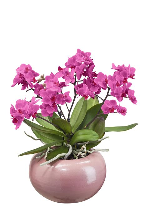 orchid 233 e avec cache pot villaverde