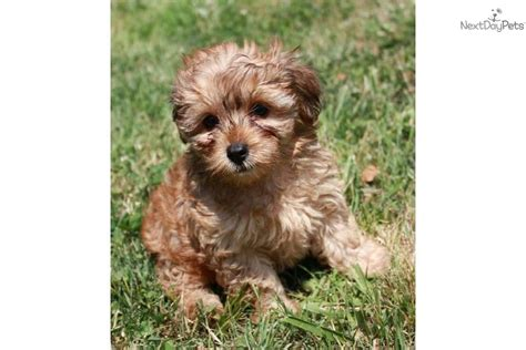 yorkie poo puppies for sale in arkansas yorkiepoo yorkie poo puppy for sale near fayetteville arkansas 4287827f 2f51